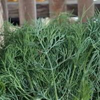 Dill (what we grow)