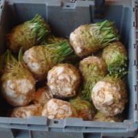 Celeriac (what we grow)