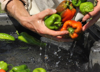 john washing peppers
