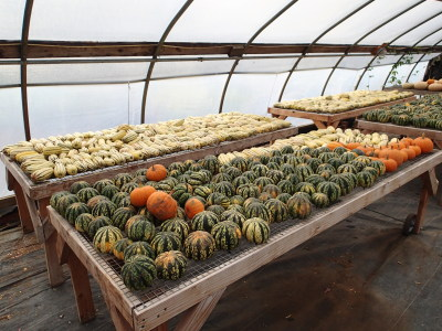 Greenhouse full of squash